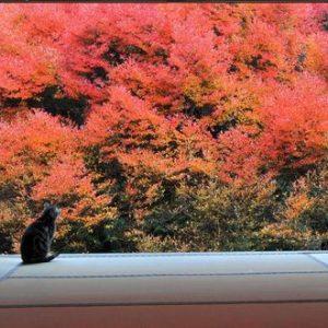 【日本の季節】思わず待ち受けにしたくなる、紅葉と猫の美しい画像集