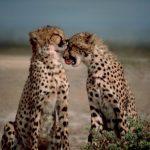 野生で生きるたくましさがカッコイイ。野生のネコ科の生き物の画像集。