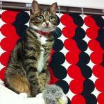 「実はよく分からない…」日本によく居る雑種猫の色柄を知る!