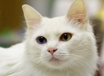 オッドアイは白猫がほとんど?