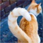 摩訶不思議!!【幸運の】尾曲がり猫の秘密