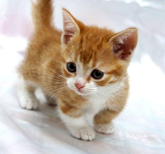 可愛すぎる短足猫「マンチカン」の魅力について語っちゃいます