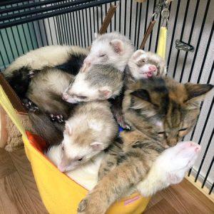 「猫?フェレット?」フェレットのいる家に子猫を連れて帰ったら……
