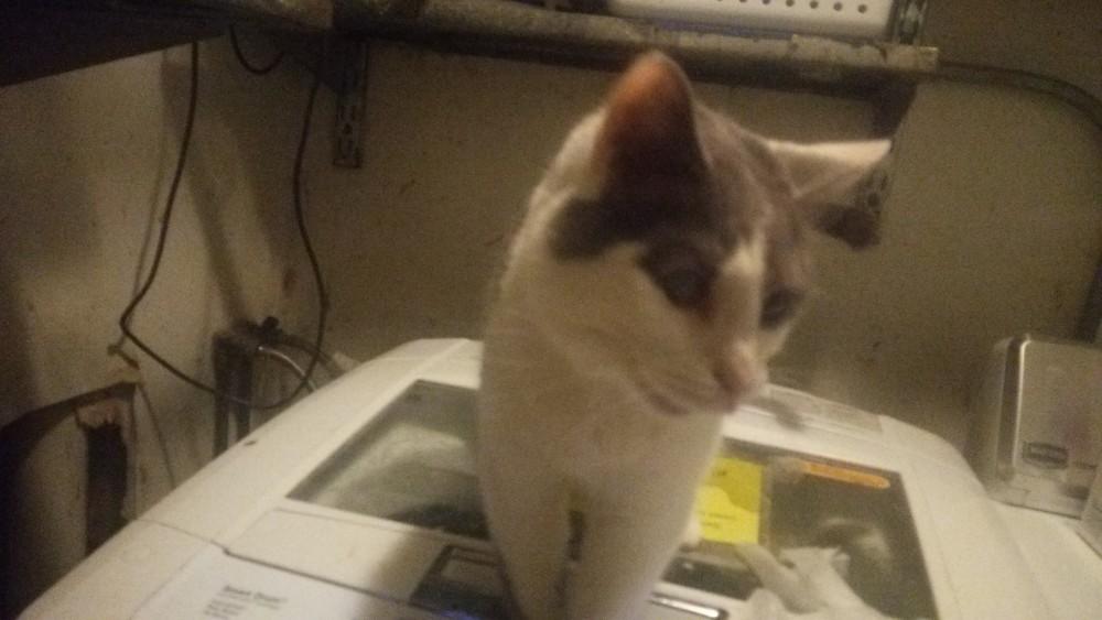 アメリカの猫シェルターでボランティアをしてみた。