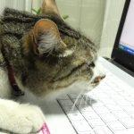 なんでそんなに好きなの?パソコン大好き!な猫ちゃんたち