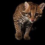 【知ってください】絶滅危惧種に指定されている猫科動物