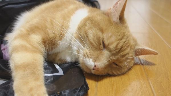 エキサイトしてたのに?!スカーフにくるまれると急に眠くなっちゃう猫