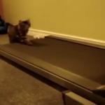 これで運動不足も心配なし? ランニングマシンに乗る猫二匹
