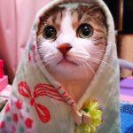 【キャベツ巻きにメロメロ】せか猫のワンシーン「キャベツ巻き」された猫にキュン死しそう♡