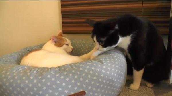 【優しい】寝ている猫を起こさないように、そ~っと動く猫
