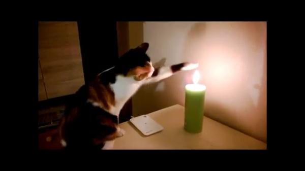 ろうそく「俺に惚れると火傷するぜ?」 ろうそくの火に触りたくて仕方が無い猫ちゃん。好奇心>>火傷