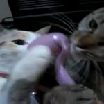 美意識高め! 我先にと美顔ローラーを欲しがる猫たち「私が先よ~!!」