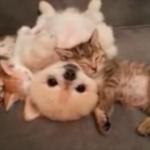 ヌイグルミみたい! 仲良くお昼寝の子猫と子犬にきゅんきゅん