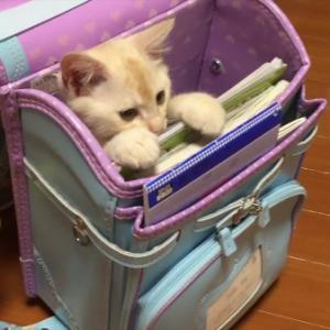 何このランドセル? 欲しい・・・! ランドセルに収まる猫ちゃんがけしからん可愛さ