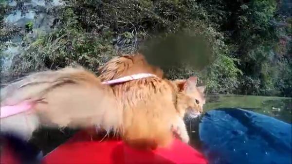 超アウトドア派なニャンコ。カヤックを楽しんでいたら川にドボン! 猫「大丈夫だ、問題ない」
