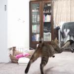 紙飛行機で遊ぶ猫ちゃん。「わーい、飛んだー!」 ただし追いかけるだけ