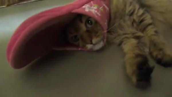「スリッパ楽しい! 好き好き好・・・っ! ・・・嵌った」スリッパから顔が抜けなくて、絶望顔の猫(笑)