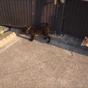 ネコVSたぬき!通りたいたぬきと、絶対邪魔したいネコの可愛い対決♪