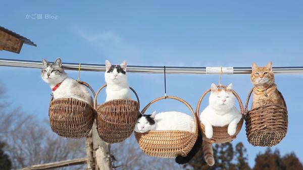 【珍風景】釣りかごに乗る5匹のねこちゃん。ゆらゆら風に揺られてリラックス中♪
