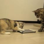 (*'ω'*)猫用のアプリにハマった子猫ちゃんがとってもかわいい♡「誰にも貸さないもん!」ハマりすぎて他の猫には遊ばせてあげない!