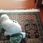 【意志固すぎ】「アタシが先にいましたけど?」掃除したい飼い主さんに絶対に場所を譲らない頑固なニャンコに爆笑!!