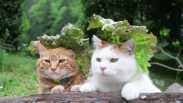 ファッション猫・夏コレクション。これは斬新!!サニーレタスを帽子のようにかぶるモデル猫ちゃん。「あーこの撮影やってらんないわ。」