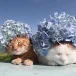 猫ちゃんがあじさいの花をかぶったら・・・ちょっと重そうだけどよく似合う。猫ファッションの最先端!!