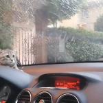 「なになになにっ?!」初めて見る車のワイパーの動きにビックリ仰天の子猫ちゃん!!
