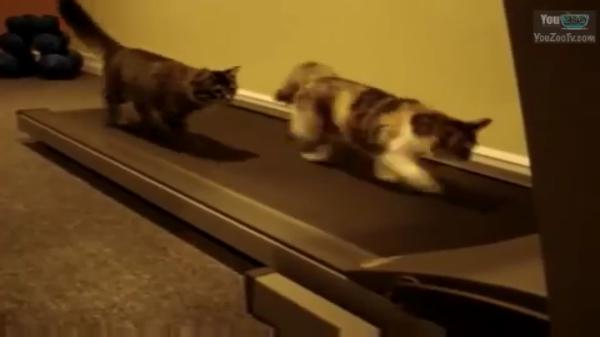 gatto c8