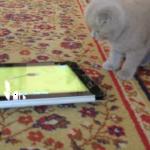 猫用アプリにすっかり夢中!iPadサイズの子猫ちゃん♪ヨチヨチ歩きでネズミを追う姿がいちいち可愛い♡