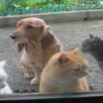 ドアの向こうからものすごい視線・・・!!!「おなかすいたにゃーー!」猫ちゃんたちの空腹アピール。後ろで犬はおとなしく従う姿勢。犬猫の性格差に爆笑!