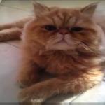 格闘!レスラー猫現る!!決め技何種類あるの・・・!?戦うペルシャ猫は超モフモフ!!