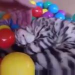 猫のパラダイス!!!カラフルなボールでいっぱいの箱の中へ大ジャンプ!遊び放題♡