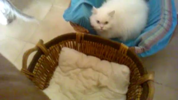 自分にソックリなぬいぐるみとじゃれ合う生後4か月の白猫ちゃんがかわいい~♡