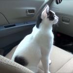 クルマの中を探検する猫。好奇心旺盛で車内を歩きまわる姿が可愛い♪