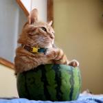 割っちゃダメだよ!٩(๑òωó๑)۶美味しくて涼し気な?スイカ猫