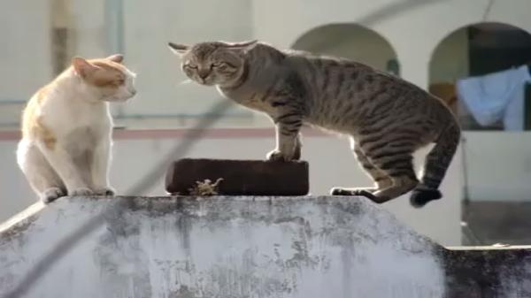 猫のにらみ合い!興奮しすぎてすごい鳴き声になっている((((;゜Д゜)))ガクガクブルブル