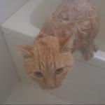 トラ猫の入浴シーン♪「あう~」と訴えながら全力拒否(´・ω・`)