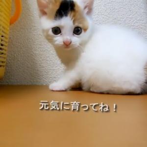 可愛すぎる可愛い捨て猫みーとの出会い。コロコロ遊びまわる姿に惚れちゃう♪