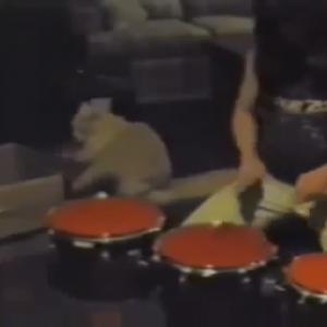 完璧なテクニックとリズム感!!ドラマー猫!!おどろきのセッションに耳と目を疑う?!