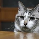 「はうぅ・・・」ごはんを待つ猫。飼い主さんが缶詰をお皿に用意してくれているのをおとなしく待つ猫ちゃんの表情が・・・♡
