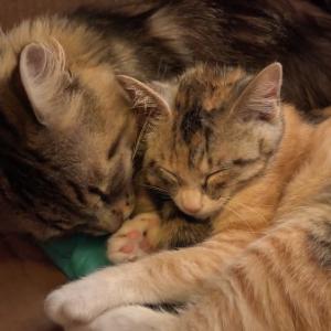 仲良しになった先住猫と新入り子猫ちゃん♪まるで本当のパパと娘のよう・・・♡