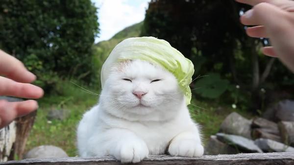 頭にレタスをかぶる猫。だんだん猫が七三カットのヘアースタイルにも見えてくる不思議な光景。
