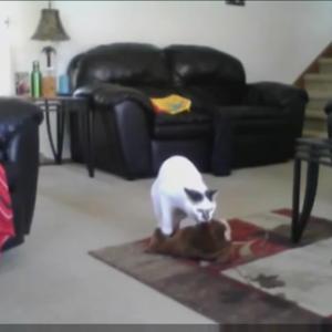 ひとりでお留守番中の猫ちゃんを隠し撮り(´・ω・`)「誰もいないの~??」と遊び相手を家中探しまわる・・・
