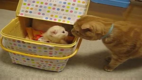 「ど、どちらさま・・・??」初めて見る子猫にどう対応していいかわからず戸惑いを隠せない猫