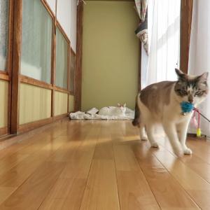 投げたおもちゃを拾って持ってくる猫ちゃん!「もう一回投げてっ♪」と何度もおねだり♡