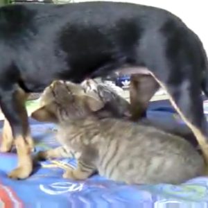 犬のおっぱいを吸う子猫ちゃんたち♡実際にはミルクは出ないのですが必死に吸い付く!