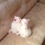 モフモフ!二匹の子猫ちゃんミニカップルのイチャイチャをのぞき見♡ちゅーが止まらない・・・!