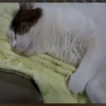 夢の中で全力疾走!?寝ている猫の激しい動きが面白かわいい♪