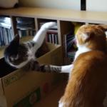 箱の中からバァ!!友達の猫を驚かせるイタズラ猫が面白い♪